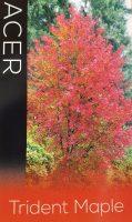 Acer-buergerianum-Trident-Maple-1