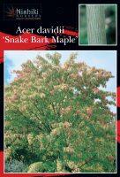 Acer-davidii-Snake-Bark-Maple-1