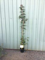 Acer-davidii-Snake-Bark-Maple-20cm