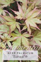 Acer-palmatum-Banzai-1