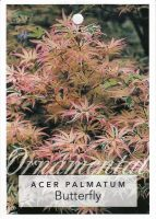 Acer-palmatum-Butterfly-1