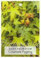 Acer-palmatum-Coonara-Pygmy-1