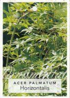 Acer-palmatum-Horizontalis-1