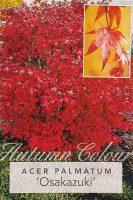 Acer-palmatum-Osakazuki-Seedling-1