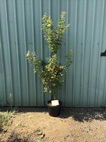 Acer-palmatum-Osakazuki-Seedling-30-33cm