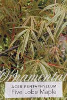 Acer-pentaphyllum-Five-Lobe-Maple-1