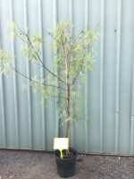 Acer-pentaphyllum-Five-Lobe-Maple-25cm-768x1024