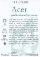 Acer-platanoides-globosum-2