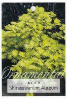 Acer-shirasawanum-aureum-1