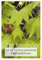 Acer-shirasawanum-palmatifolium-1