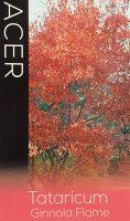Acer-tartaricum-Ginnala-Flame-1