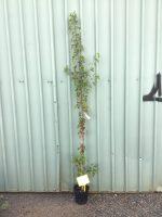 Acer-tartaricum-Ginnala-Flame-20cm