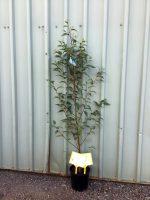 Alnus-jorullensis-Evergreen-Alder-20cm-768x1024