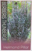Berberis-thunbergii-Helmond-Pillar-1