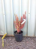 Berberis-thunbergii-Pow-Wow-20cm