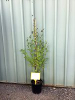 Betula-nigra-River-Birch-20cm-768x1024