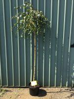 Betula-pendula-Youngii-Weeping-Birch-1.8m-Standard-30-33cm