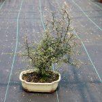 Bonsai-Corokia-cotoneaster