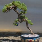 Bonsai-Juniperus-pingii-2