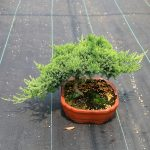 Bonsai-Juniperus-pingii