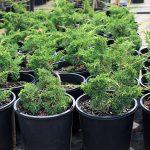 Bonsai-Starter-Juniperus-chinensis-Shimpaku