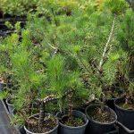 Bonsai-Starter-Pinus-sylvestris-Scots-Pine