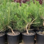 Bonsai-Starter-Pinus-thunbergii-Japanese-Black-Pine