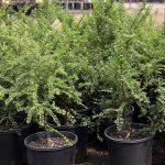 Bonsai-Starter-Ulmus-parvifolia-Seiju-Elm-Bonsai-Starter