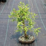 Bonsai-Taxodium-distichum-Bald-Cypress