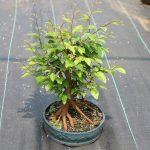 Bonsai-Ulmus-parvifolia-Chinese-Elm