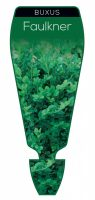 Buxus-microphylla-Faulkner-Box-1