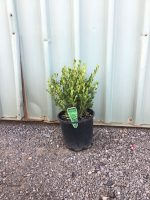 Buxus-microphylla-Faulkner-Box-20cm
