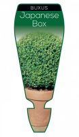 Buxus-microphylla-japonica-Japanese-Box-1