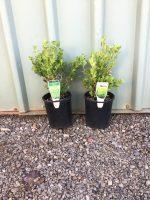 Buxus-microphylla-japonica-Japanese-Box-14cm