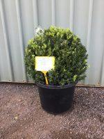 Buxus-semp-English-Box-Topiary-Ball-40cm-768x1024