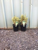 Buxus-semp-Variegated-Box-14cm