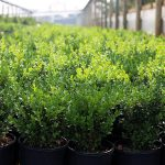 20cm-Buxus-sempervirens-English-Box