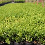 Buxus-microphylla-Japanese-Box