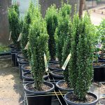 Buxus-sempervirens-Emerald-Pillar-Graham-Blandy