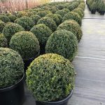 Buxus-sempervirens-English-Box-Topiary-Ball-50cm