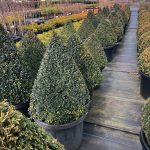 Buxus-sempervirens-English-Box-Topiary-Cone-50cm