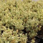 Buxus-sempervirens-variegata