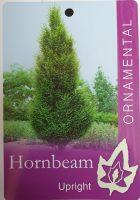 Carpinus-betulus-fastigiata-Upright-Hornbeam-1