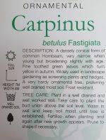 Carpinus-betulus-fastigiata-Upright-Hornbeam-2