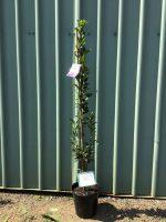 Carpinus-betulus-fastigiata-Upright-Hornbeam-25cm-768x1024