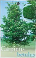 Carpinus-betulus-European-Hornbeam-1