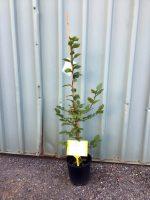Carpinus-betulus-European-Hornbeam-20cm-768x1024
