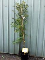 Cedrela-sinensis-Chinese-Toon-25cm-768x1024