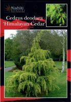 Cedrus_deodara_Himalayan_Cedar