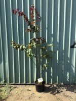 Cercis-canadensis-Forest-Pansy-30-33cm